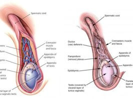 Spermatic Cord Contents (Anatomy)