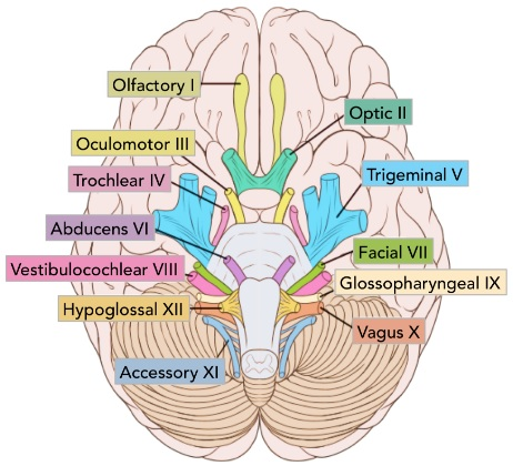 Origin of the Cranial Nerves from different areas of Brain