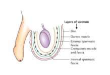 Layers of the Scrotum (Anatomy)