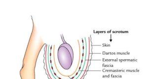 Layers of the Scrotum (Anatomy)