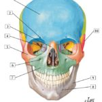Netter's Anatomy Flash Cards (Skull Flashcard)