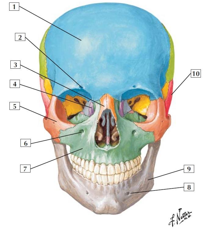 Netter\'s Anatomy Flash Cards | Medicos Republic
