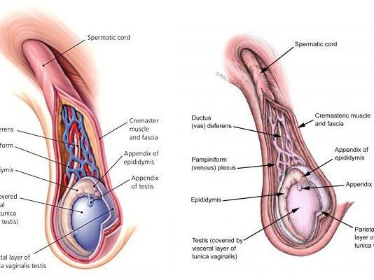 Spermatic Cord Contents (Anatomy)