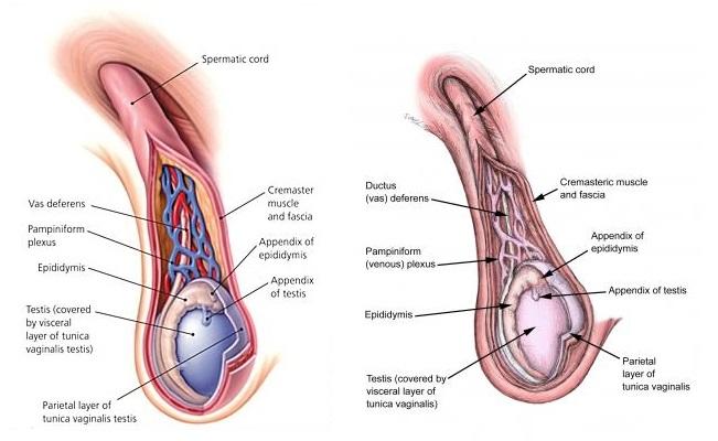 Spermatic Cord Contents Mnemonic Easy Fun Medicos Republic